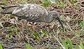 Plumbeous Ibis (Theristicus caerulescens) immature ... (48372952302).jpg