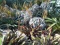 Poales - Vriesea amethystina 2.jpg