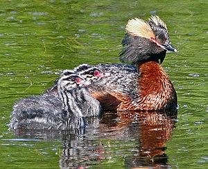 Horned grebe - Chicks swimming alongside adult in alternate plumage