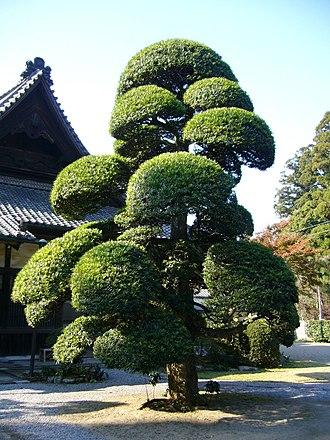 Cloud tree - Image: Podocarpus macrophyllus,katori city,japan
