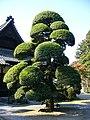 Podocarpus macrophyllus,katori-city,japan.JPG