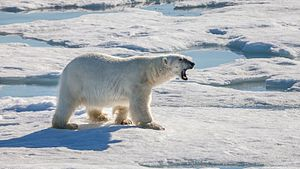 Wildlife observation - Polar bear hunting for food