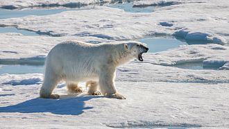 Wildlife observation - Polar bear hunting for food