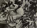 Polioptila caerulea 1904B.jpg