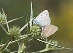 Polyommatus daphnis - Meleager's blue 01.jpg