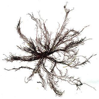 Polysiphonia - Polysiphonia urceolata