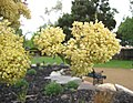 Pomaderris elliptica -澳洲塔斯曼尼亞 Richmond, Tasmania- (10867935054).jpg