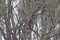 Pomatostomus superciliosus (27153643405).jpg
