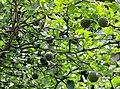 Poncirus trifoliata Prague 2011 1.jpg