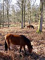 Ponies grazing in Milkham Inclosure, New Forest - geograph.org.uk - 328006.jpg