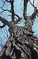 Populus deltoides pode3 013 pvp.jpg