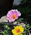 Portulaca grandiflora, Burdwan, 30032014 (7).jpg