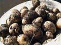 Potato tubers in pail.jpg