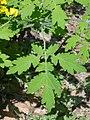 Potentilla fragarioides 03.JPG