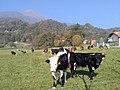 Priacco mucche.jpg