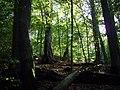 Primeval beech forest, Badínsky prales.jpg
