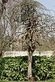 Provins110 Sophora-japonica-pendula jardin Victor-Garnier.jpg
