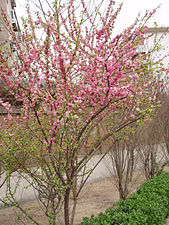 PrunusPersica3.jpg