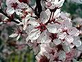 Prunus cerasifera var. atropurpurea FlowerCloseup 2009Mach15 DehesaBoyaldePuertollano.jpg