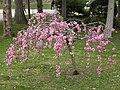 Prunus persica 'Pendula' (Schönbrunn, beneath Japanese Garden) 20080412 040.jpg