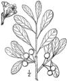 Prunus pumila var susquehanae.png