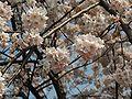 Prunus serrulata 2005 spring 024.jpg