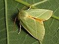 Pseudoips prasinana - Green silver-lines - Челночница зелёная (41092607972).jpg