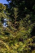 Pseudolarix amabilis, Timaru Botanic Garden, New Zealand 02.jpg