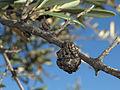 Pseudomonas syringae savastanoi 20120709.jpg