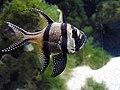 Pterapogon kauderni Pengo.jpg