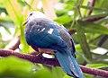 Ptilinopus magnificus 1zz.jpg