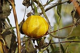 Pumpkin yellow.jpg