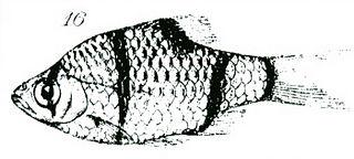 <i>Puntigrus partipentazona</i> Species of fish