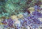 Purple Coral (30880349792).jpg
