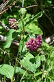 Purple Milkweed plant.JPG