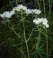 Pycnanthemum virginianum 2016-07-19 2833.jpg
