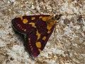 Pyrausta purpuralis - Огнёвка пурпурная (43890546191).jpg