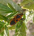 Pyrrhocoris apterus. Pyrrhocoridae. - Flickr - gailhampshire.jpg