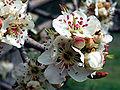 Pyrus bourgaeana DehesaBoyalFlowerscloseup.jpg