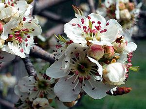 Pyrus bourgaeana - Iberian pear blossoms