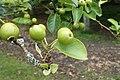 Pyrus pyrifolia kz04 'Shinseki'.jpg