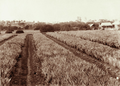 Queensland State Archives 2477 Pineapple plantation c 1898.png