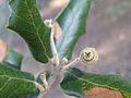 Quercus ilex 15.jpg