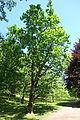 Quercus mongolica - Arnold Arboretum - DSC06863.JPG