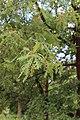 Quercus pyrenaica BotGardBln 20170610 D.jpg