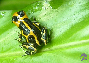 Müllerian mimicry - A common morph of Ranitomeya (Dendrobates) imitator is aposematically striped black and yellow, but in other areas, other morphs imitate differently coloured species.