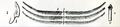 Radula of Siphonaria.png