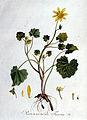 Ranunculus ficaria — Flora Batava — Volume v1.jpg