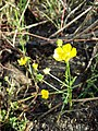 Ranunculus sardous subsp. sardous sl26.jpg