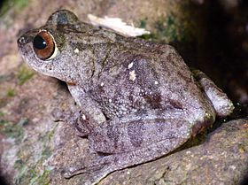 Raorchestes ponmudi side.jpg